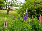 Spring lupines in full bloom