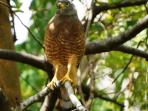 Roadside hawk at Santa Rosa National. Park. Through our tours you could to watch it and more.