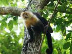 Capuchin monkeys It is one of three species of monkeys.  You can watch it.