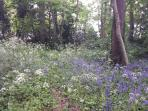 Bluebells In The Woodlands At The Old Vicarage