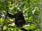 a lone howler monkey passing by