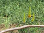 Chiroca Pampera feeding from Sabila (aloe)
