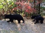 Mama Bear leads two cubs past the deck (Sep 2015)