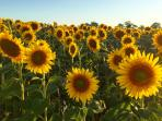 The iconic sunflower fields of rural France