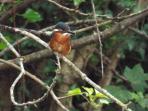 Resident kingfisher