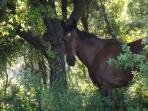 cavalla nel bosco del podere