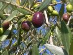 olive degli ulivi di Poggio Falco