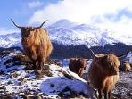 Heeland coos - soooo cute, but watch those horns!