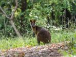 Swamp wallaby on walk