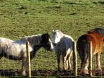 3 of the many horses we have here at Henblas.  Always eager to eat any carrots you may have for them