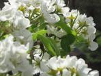 pear tree in blossom