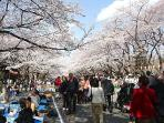 most popular famous Sakura flower watching 'cherry blossom' is 5 minutes away on JR