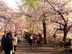 Sakura flower watching 'cherry blossom' is a 5 minutes by JR