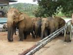 Pinnawala elephant orphanage.