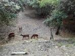 Montevecchio: cervo sardo