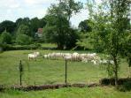 Our neighbours the white Charolais cows