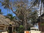 Native Baobab tree that can live for hundreds of years