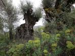 Ancient, monumental olive trees