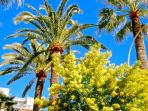 The Mimosa season is from January each year together with the citrus festival in Menton