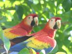 Scarlet macaws fly over the villa every day!