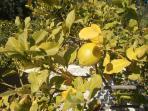 Lemons for your G & T