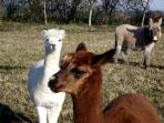 Les Alpagas et l'âne Euréka