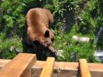 This little bear found a cache of sunflower seeds under the deck--outside the Denali suite.