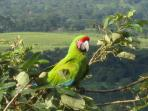 Great green macaws are very endangered in Costa Rica, but one visits us regularly.