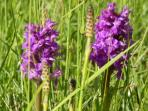 Early purple orchids on the fell. There is a wealth of flora and fauna in the area.
