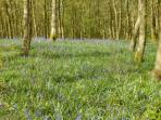 Bluebell wood just above the cottages on the farm.