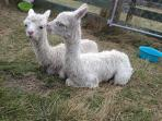 Cria - baby alpacas