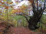 Pasea por los bosques de castaños