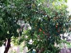 Mandarinenbaum im Garten
