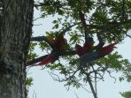 Macaws in the trees near the beach.