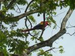 A lone macaw surveys Jaco Beach.