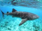 A whale shark seen during whale shark spotting
