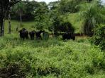 Water buffaloes at our farm, see the hidden calf?