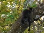 howler monkey in the back yard