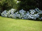 Hydrangeas in main house garden