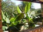 Banana trees next to the dining area