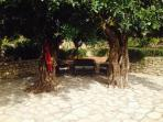 Shaded sitting area under the big old carob trees