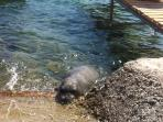 'Argyro' the wild seal in our deck
