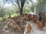 free range eggs every day