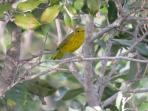 Yellow Warbler (seen from the casa)