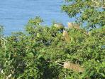 21 Iguanas live in a giant fig tree in front the casa and can be viewed from every level