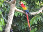 Macaws, All pictures of Villas and animals are taken with our camera on/or from Jungle Creek.