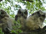 Young Great Horned owls behind Eagle's Loft Lodge