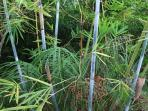 Impressions of the garden, blue bamboo