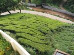 Tea garden nearby.