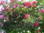 des bougainvilliers partout à profusion, la Martinique est bien L'ILE AUX FLEURS